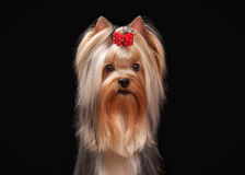 Portrait yorkie puppy on black background Royalty Free Stock Images