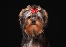 Portrait yorkie puppy on black background Stock Photo