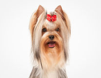 Portrait yorkie puppy on white  background Royalty Free Stock Images