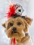 Portrait of Yorkie Dog wearing her lucky hat Stock Photo
