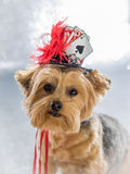 Portrait of Yorkie Dog wearing her lucky hat. Cute Yorkie wearing top hat decorated with dice, cards and feathers stock photography