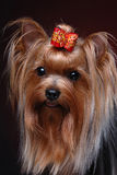 Portrait of yorkshire terrier Royalty Free Stock Images