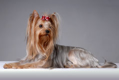 Portrait of yorkshire terrier Royalty Free Stock Photo