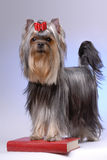 Portrait of yorkshire terrier Stock Photos