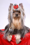 Portrait of yorkshire terrier Stock Photo
