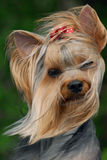 Portrait of yorkshire terrier Stock Images