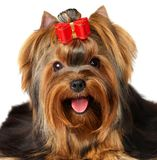 Portrait of the Yorkshire Terrier. Isolated on the white background Stock Photos