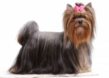 Portrait of yorkshire terrier Stock Photography