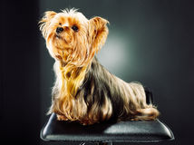 Portrait of a yorkshire terrier Stock Photo