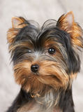 Portrait of the Yorkshire Terrier Stock Photography