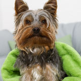 Yorkshire Terrier. A Portrait of Yorkshire Terrier Stock Image