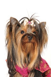 Portrait of yorkshire terrier Royalty Free Stock Photos