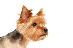 Portrait of the Yorkshire Terrier. This picture depicts a portrait of the Yorkshire Terrier isolated on white background. Studio work Stock Image