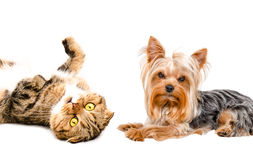Portrait of Yorkshire terrier and cat Scottish Fold Royalty Free Stock Photos