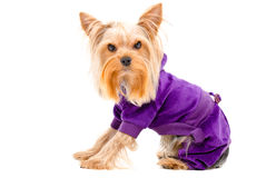 Portrait of Yorkshire terrier dog in a suit Stock Photography