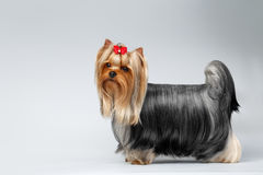 Portrait of Yorkshire Terrier Dog on White Royalty Free Stock Image