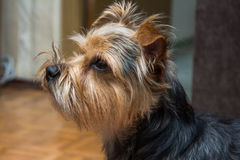 Portrait of Yorkshire terrier, green grass in. Portrait of Yorkshire terrier, green grass Royalty Free Stock Photos