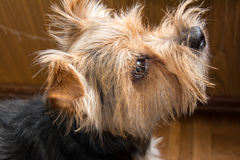Portrait of Yorkshire terrier, green grass in. Portrait of Yorkshire terrier, green grass Royalty Free Stock Images