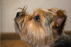 Portrait of Yorkshire terrier, green grass in. Portrait of Yorkshire terrier, green grass Royalty Free Stock Photo