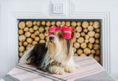 Portrait of Yorkshire terrier in hair curlers. Stock Photos