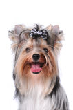 Portrait of yorkshire terrier isolated on white Royalty Free Stock Photo