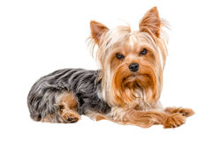 Portrait of Yorkshire terrier Royalty Free Stock Photography
