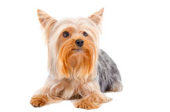 Portrait of Yorkshire terrier,  lying looking up Royalty Free Stock Images
