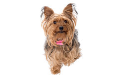 Portrait of Yorkshire Terrier with Pink Collar Royalty Free Stock Photography