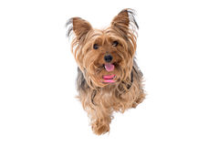 Portrait of Yorkshire Terrier with Pink Collar Royalty Free Stock Images