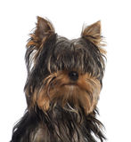 Portrait of Yorkshire Terrier puppy, 5 months Royalty Free Stock Image