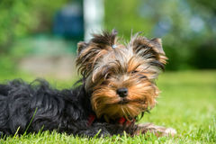 Portrait of a yorkshire terrier puppy Royalty Free Stock Photography