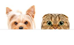 Portrait of  Yorkshire terrier and Scottish Fold cat peeking from behind a banner. Closeup, isolated on a white background Royalty Free Stock Image