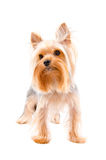 Portrait of a Yorkshire terrier Royalty Free Stock Photo