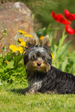 Portrait of Yorkshire Terrier. Vertically. Royalty Free Stock Photos
