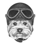 Portrait of Yorkshire Terrier with Vintage Helmet. Royalty Free Stock Photo