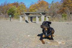 Portrait of young adult rottweiler dog sitting on a sandy beach Royalty Free Stock Photos