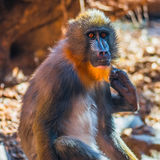 Portrait of young African mandrill in the open resort Royalty Free Stock Image