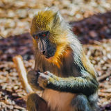 Portrait of young African mandrill in the open resort Royalty Free Stock Images