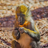 Portrait of young African mandrill in the open resort Stock Image