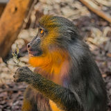 Portrait of young African mandrill in the open resort Stock Photos