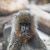 Portrait of young African mandrill in the open resort royalty free stock photography