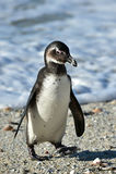 Portrait of young African penguin (spheniscus demersus) Stock Photos