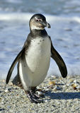 Portrait of young African penguin (spheniscus demersus) Royalty Free Stock Photos