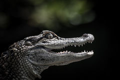 Portrait of a young alligator Royalty Free Stock Photo