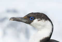 Portrait of a young Antarctic blue-eyed cormorants. Stock Photo