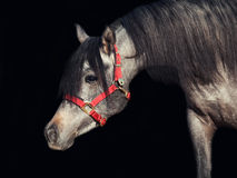Portrait of young arabian filly isolated at black. Outdoor Stock Image