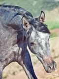 Portrait of young arabian filly in movement Royalty Free Stock Images