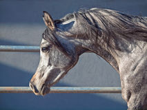 Portrait of young arabian filly in movement Stock Photos