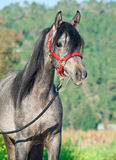 Portrait of young arabian filly Royalty Free Stock Photography