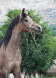 Portrait of young arabian mare Stock Photos
